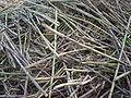 Sugar cane dsc09008.jpg