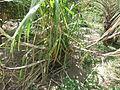 Sugarcane - കരിമ്പ് 01.JPG