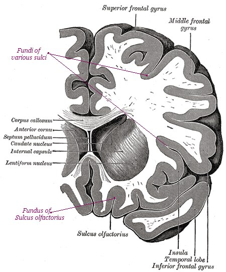 Sulci Gyri Fundi in section of Human brain