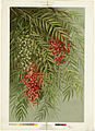Sumac (Boston Public Library).jpg