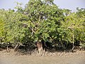 Sundarbans (9).jpg