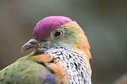 Superb Fruit-dove (Ptilinopus superbus) -side of head.jpg