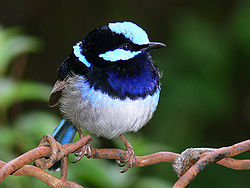 Superb blue Wren1.jpg