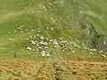 Svydovec, Blyznycja, ovce.jpg