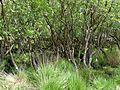 Swampy woodland , Studland Bay, Dorset - Flickr - gailhampshire.jpg