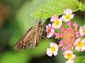 Swift from Melagiri TN IMG 6574.jpg