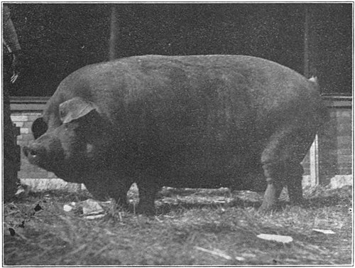 Swine a book for students and farmers - Yearling Duroc-Jersey sow.jpg