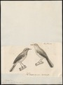 Sylvia subalpina - 1700-1880 - Print - Iconographia Zoologica - Special Collections University of Amsterdam - UBA01 IZ16200145.tif