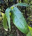 Syzygium mundagam 03.JPG