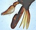 Tabanus-horsefly-mouthparts-2.jpg
