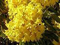 Tabebuia chrysantha flowers1.jpg