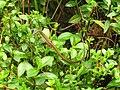 Takydromus sexlineatus (43793302325).jpg