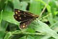 Taractrocera ceramas – Tawny-spotted Grass Dart - Tamil Grass Dart. 11.jpg