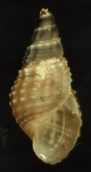 Spire (mollusc) - Apertural view of the shell of adult Tarebia granifera showing its pale brown body whorl and dark spire.