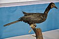 Taxidermied Little Cormorant - Palta - North 24 Parganas 2012-04-11 9589.JPG
