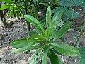 Tender Dillenia indica plant.jpg