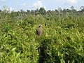 Tesso Nilo 2009.jpg