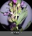 Teucrium chamaedrys (subsp. chamaedrys) sl8.jpg