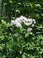 Thalictrum aquilegiifolium plant1.jpg