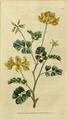 The Botanical Magazine, Plate 13 (Volume 1, 1787).png