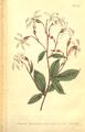 The Botanical Magazine, Plate 489 (Volume 14, 1800).png