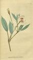 The Botanical Magazine, Plate 56 (Volume 2, 1788).png