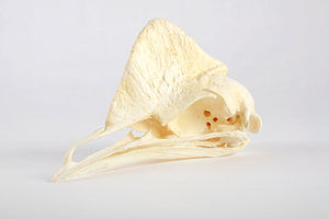 The Childrens Museum of Indianapolis - Cassowary skull cast.jpg