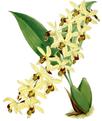 The Orchid Album-01-0089-0029-Coelogyne massageana-crop.png