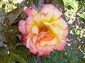 The Rose - panoramio.jpg