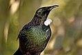 The Tui New Zealand. (9157585500).jpg