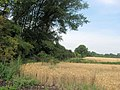 The boundary hedge of Wilstone reservoir beside the wheat fields - geograph.org.uk - 1440354.jpg