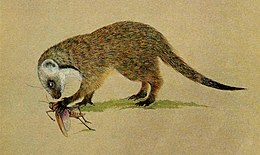 The carnivores of West Africa BHL8726423, Mungos gambianus.jpg