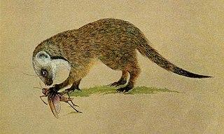 Gambian mongoose species of mammal