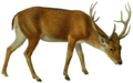 The deer of all lands (1898) Swamp deer white background.png