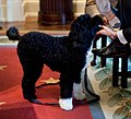 The dog Bo in the Cabinet Room (cropped).jpg