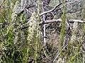 Thelypodium milleflorum (3703651915).jpg