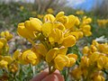 Thermopsis rhombifolia (5156813160).jpg
