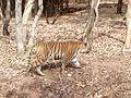Tiger image39.jpg