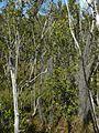 Tillandsia usneoides - Flickr - pellaea (1).jpg