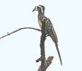 Tockus pallidirostris subsp pallidirostris, wyfie by oog van Cuanavalerivier, Birding Weto, a.jpg