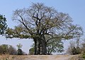 Tolkien Tree - Liwonde National Park.jpg