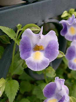 Torenia fournieri2