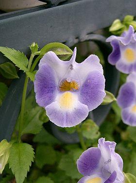 Torenia fournieri2.jpg