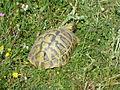 Tortoises in Krushevska Reka valley - P1100170.JPG
