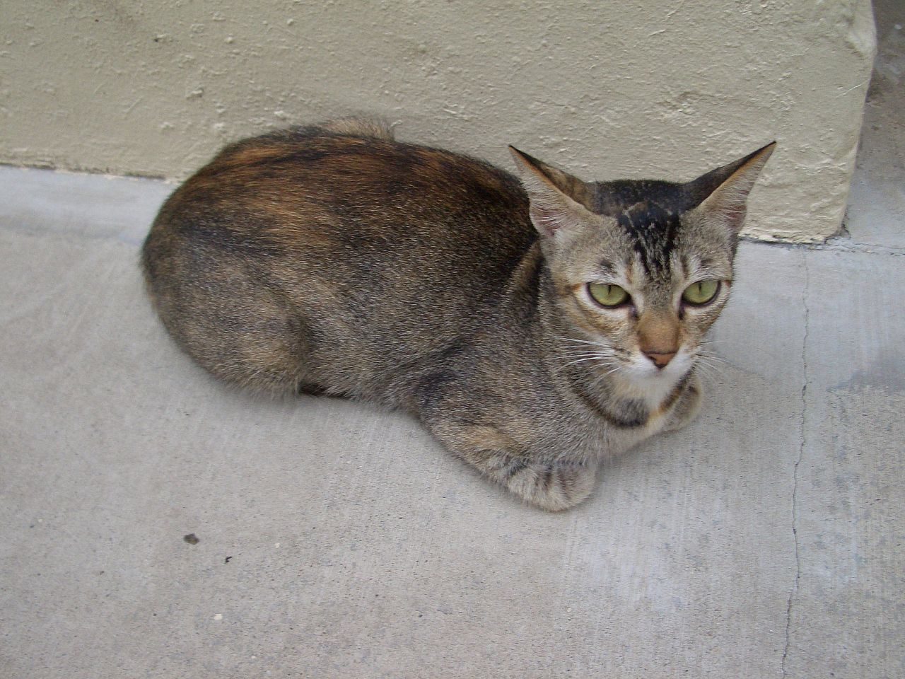 A Stary Cat With A Clipeed Ear