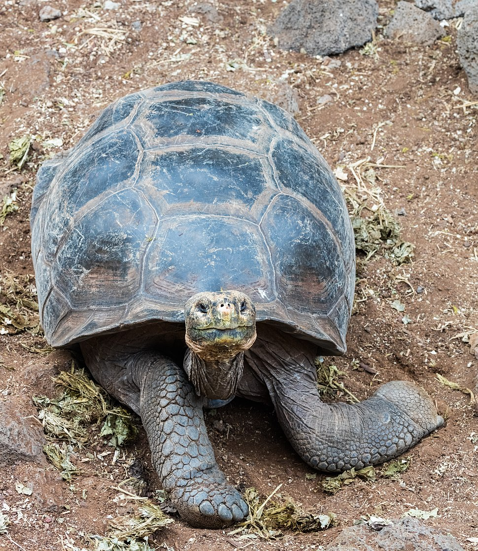 Tortuga gigante de San Cristóbal (Chelonoidis chathamensis), isla Santa Cruz, islas Galápagos, Ecuador, 2015-07-26, DD 15