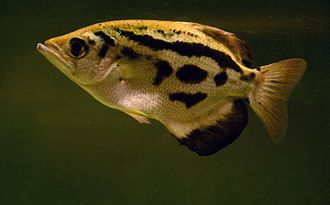 Archerfish - Toxotes blythii