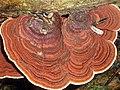 Trametes variegata Berk 386829.jpg