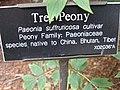 Tree peony sign - Gardenology.org-IMG 0643 bbg09.jpg