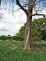 Tree with split bark - geograph.org.uk - 439114.jpg